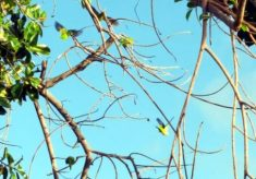 parakeets in tree branches